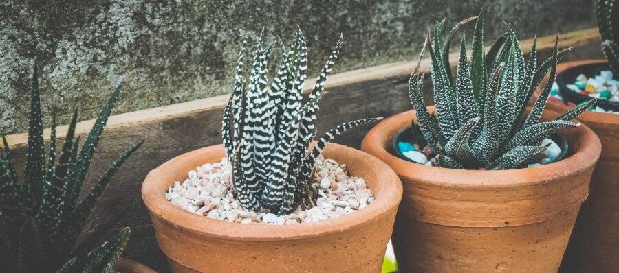 Rośliny oczyszczające powietrze - aloes zwyczajny