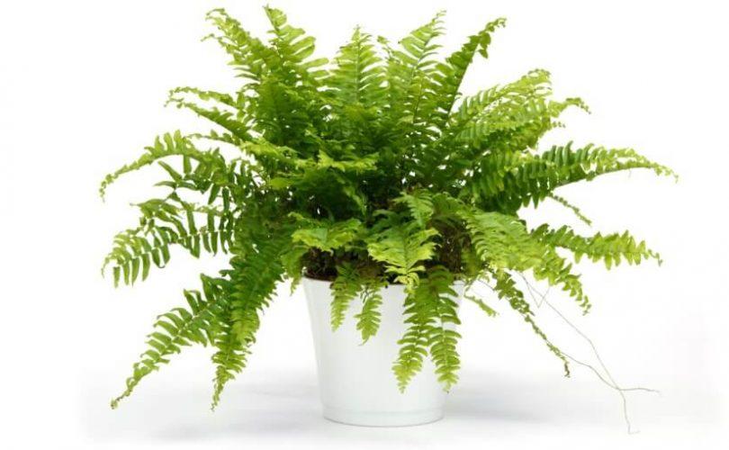 Rośliny oczyszczające powietrze - paprotka